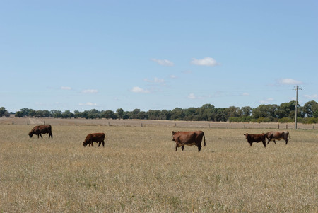 2 adult cows and 2 calves grazing in a rural pasture with trees in background on a sunny day Stock Photo