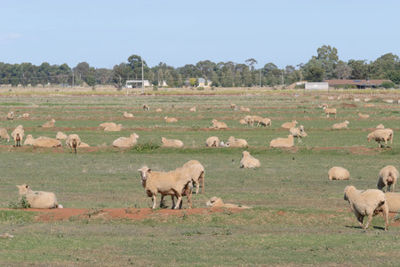 sitting on the ground: a mob of crossbreed ewes and lambs sitting down in a grass pasture on a sunny day Stock Photo