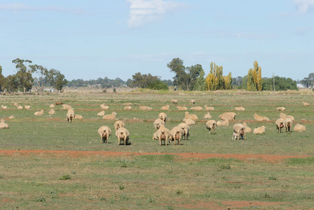 ewes: a rural pasture with lambs and crossbreed ewes on a sunny day with trees in the background