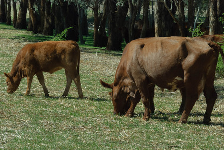 Australian red dairy cow and calf grazing in grass pasture with trees in background on a sunny day