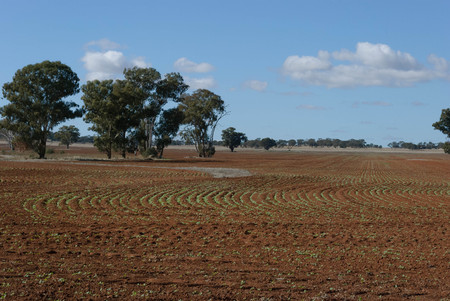 young canola crop sprouts from ground in a rural paddock with trees on a sunny day Stock Photo