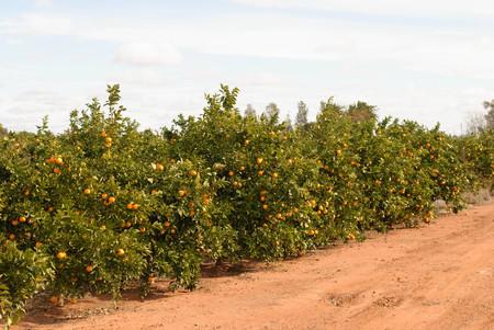 Una fila di aranci in un paddock rurale in una giornata di sole con cielo nuvoloso Archivio Fotografico - 80464212