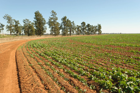 a young healthy canola crop in a rural paddock on a sunny day with trees and a blue sky Stock Photo