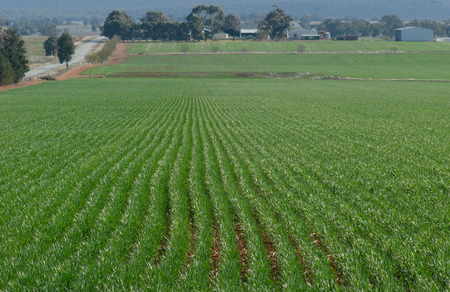 rows of young healthy cereal crop on undulating ground in a rural paddock with farm buildings and trees in the background on a sunny day