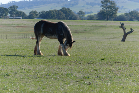 a draught horse in a rural pasture rubbing his face on his leg on a sunny day