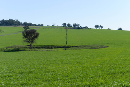 a growing cereal crop in a rural paddock on undulating ground and farm house and buildings in the background on a sunny day