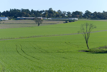 rows of young cereal crop on undulating paddock with fence going through it and buildings in the background on a sunny day Stock Photo
