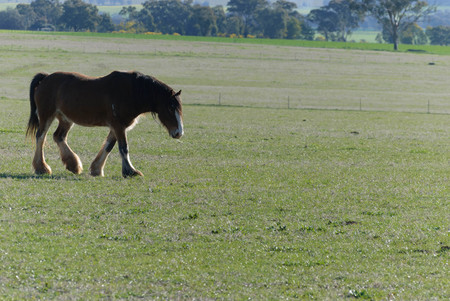a lone draught horse walking through a grass pasture on a bright sunny day Stock Photo
