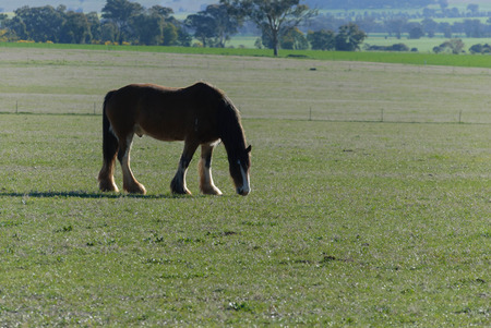 an adult draught horse grazing in a grass pasture on a sunny day