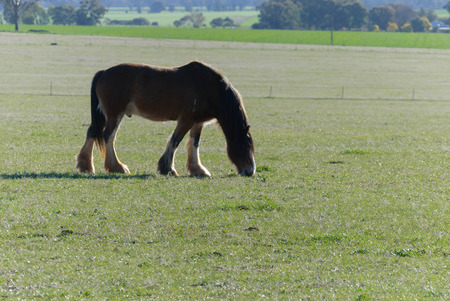 a male draught horse grazing on a rural grass pasture on a sunny day