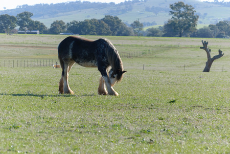 a draught horse rubbing his head on his leg in a grass pasture with sheds and trees in the background on a sunny day