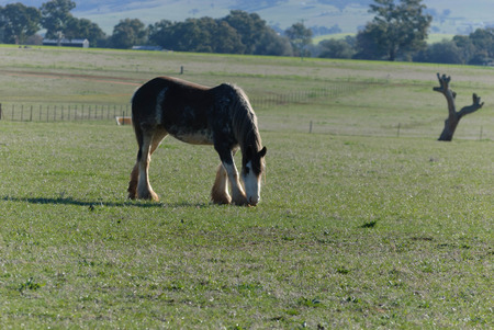 a young draught horse grazing in a grass pasture on rural property with sheds and timber in the background