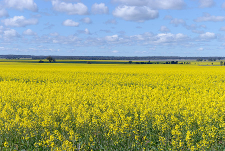a healthy young flowering canola crop in a rural paddock with countryside in the background and a cloudy sky on a sunny day