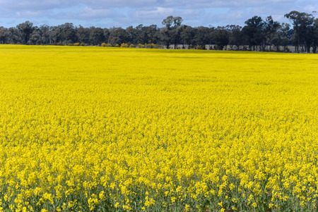 a canola crop flowering in a rural field with trees and a cloudy sky on a bright sunny day Stock Photo