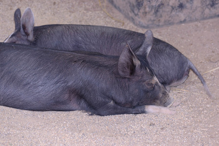 2 young sows laying on ground in a pig sty undecover during the day