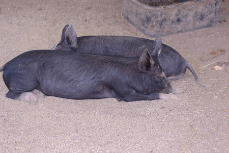 2 cute young sows sleeping on the ground in a pig sty with a feed trough in the background