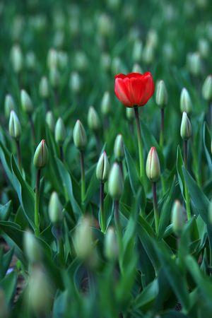 빨간 튤립 꽃 스톡 콘텐츠