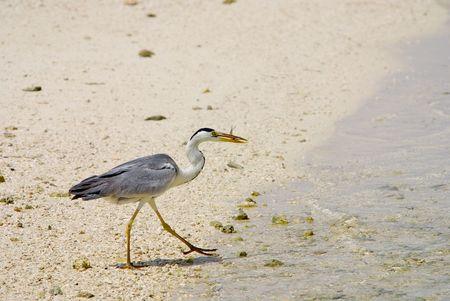Maldives Resort beach fishing gray heron photo