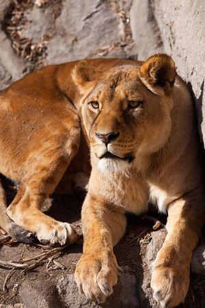timidity: Beijing Zoo Lions Stock Photo