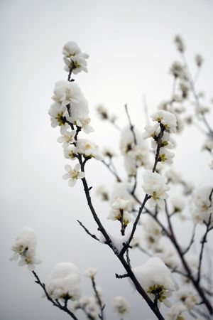 Peach Blossom Spring in full bloom and snow photo
