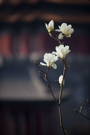 Blooming magnolia flower in spring photo