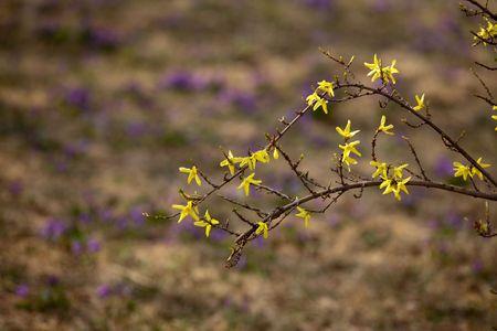 Winter jasmine blooming in spring photo