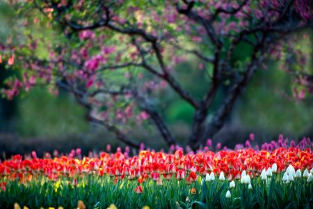 Beijing Botanical Garden in full bloom in the Tulip photo