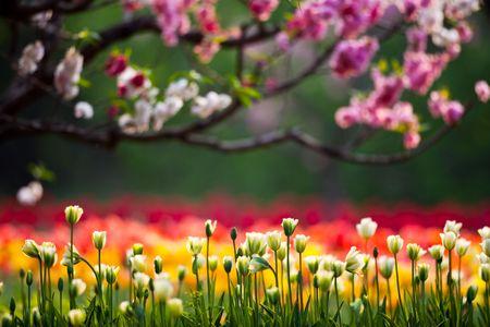 Beijing Botanical Garden of the tulips in full bloom Stock Photo