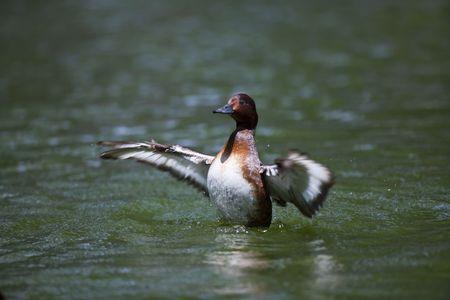 waterfowl: Wild waterfowl