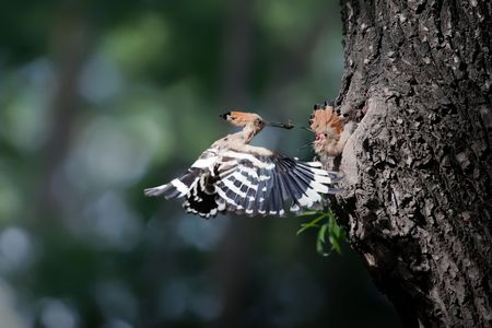 Hoopoe feeding mothers and daughters photo