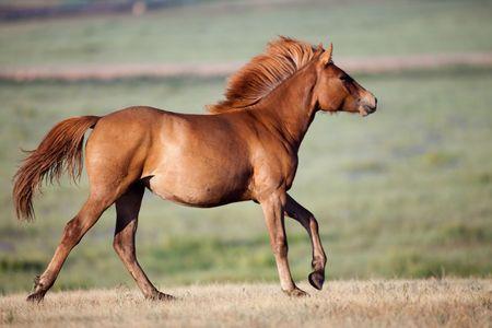 mongolian: Mongolian horse Stock Photo