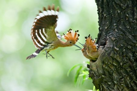 Hoopoe feeding wild birds children 免版税图像