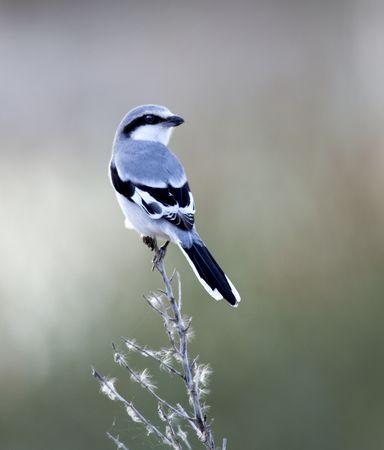 wedgetailed: Wedge-tailed Shrike