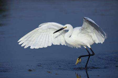and egrets: Protected species of wild birds - egrets