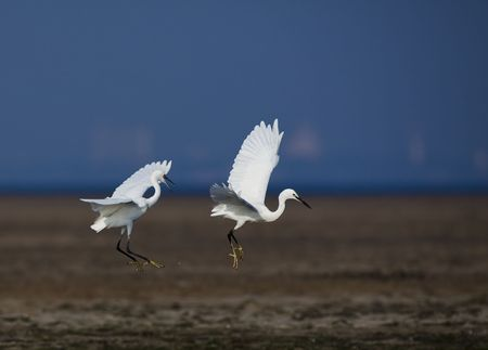 Protected species of wild birds - egrets Stock Photo - 5672176