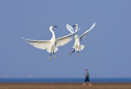 Protected species of wild birds - egrets photo
