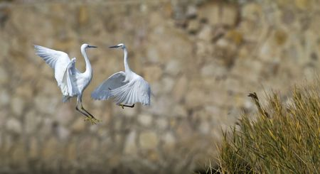Innocent Steps flying egret photo