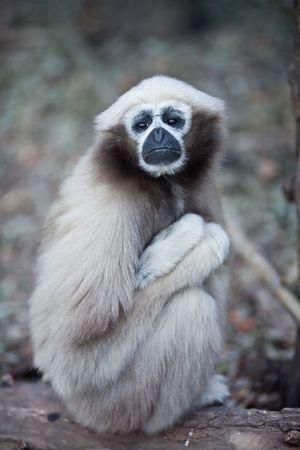 gibbon: White-browed gibbon