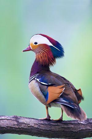 The beautiful mandarin duck