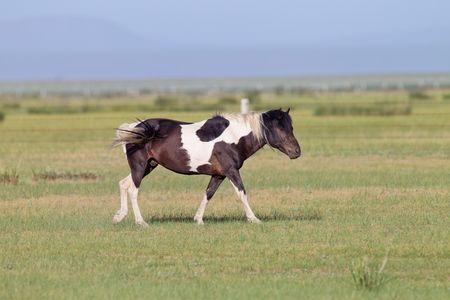 mongolia horse: Chinas Inner Mongolia steppe Mongolia horse Stock Photo