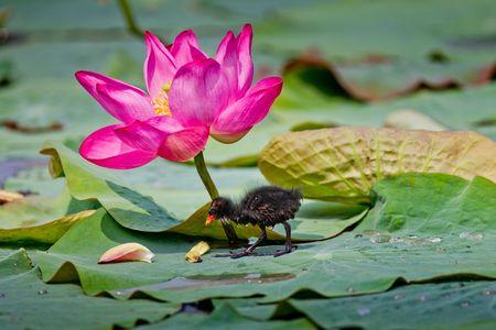 blackwater: In the pools foraging nestlings - blackwater chicken