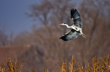 hebei: Living in Chinas hebei province, cold winter of wild birds herons plodded