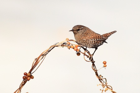 Live in cold winter in Beijing of wild birds wren