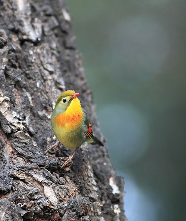 lovesickness: In Beijing, China red bill accidentally discovered acacia sparrow