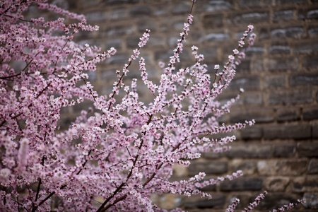 In Beijing in spring under the old wall of open flowers photo