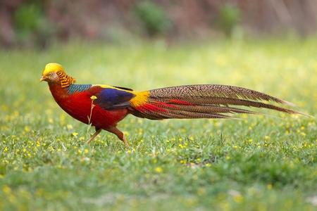 Chinas gorgeous chrysolophus pictus wild animal protection