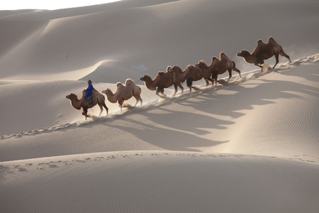 Walking in desert camels photo