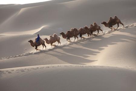 Walking in desert camels