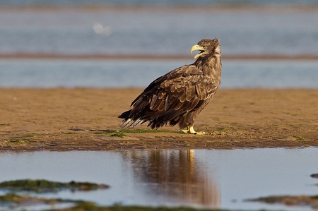 hebei: Were released into white tail bald eagles: China hebei beidaihe