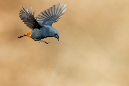 birds in flight: The wild birds flying ep-red-flanked Bush Robin (male)